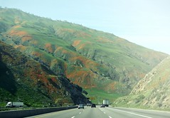 r.e. ~ posted a photo:	Wild flowers season. Daytrip. 5 North, between Santa Clarita and Bakersfield, California