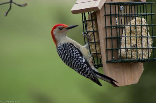 ontario canada birds easter woodpecker jane goderich portalbert huroncounty