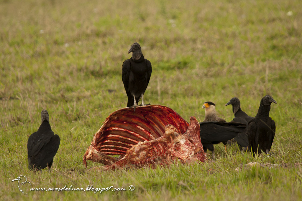 Jote cabeza negra (Black Vulture) Coragyps atratus