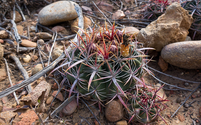 Coast barrel cactus (Ferocactus viridescens)
