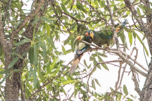Blue-winged Macaw (Primolius maracana), Rio de Pedras near Canudos, Bahia, BR, 20160114-105.jpg
