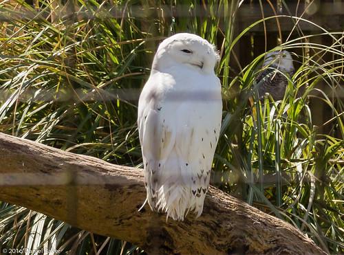 A white owl Bourton-on-the-water April