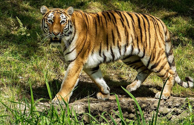 Tiger Ahimsa