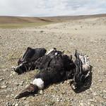 Di, 22.12.15 - 13:59 - El Condor Pasó - in die ewigen Jagdgründe