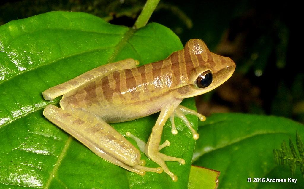 Tree frog, Hypsiboas lanciformis
