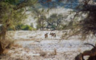 Oryx-Antilopen im Aba-Huab Gebiet, Damarland