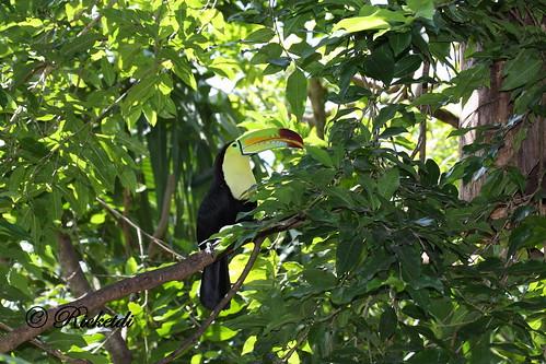 ngc keelbilledtoucan ramphastossulfuratus toucanàcarène birdofcostarica