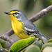 Reinita Mariposera...Adelaide's warbler...Setophaga adelaidae