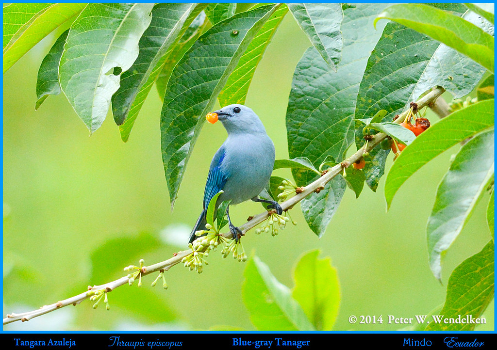BLUE-GRAY TANAGER Thraupis episcopus Eating Pico Pico Fruit in Mindo in Northwestern ECUADOR. Tanager Photo by Peter Wendelken.