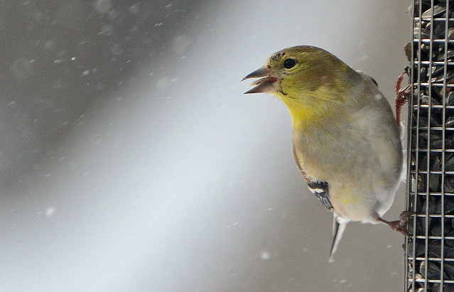 American Goldfinch eating a sunflower seed (Explored)