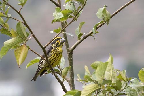 Spot-winged Grosbeak - female