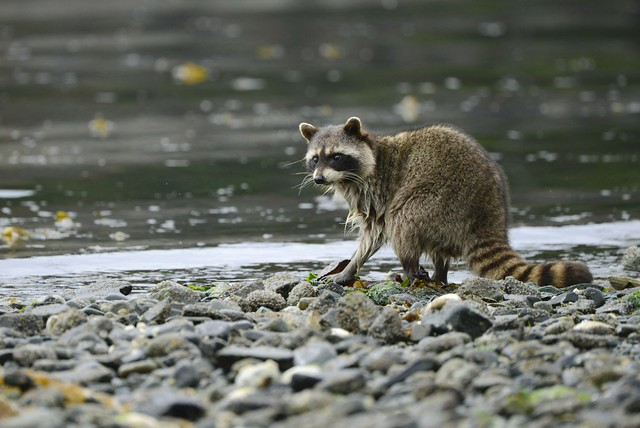 Raccoon_on_Shore_SBaker-1024x685