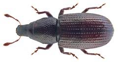 Caulotrupis aeneopiceus (Boheman 1845) Syn.: Caulotrupodes aeneopiceus Boheman, 1845; Pseudophloeophagus aeneopiceus (Boheman, 1845)