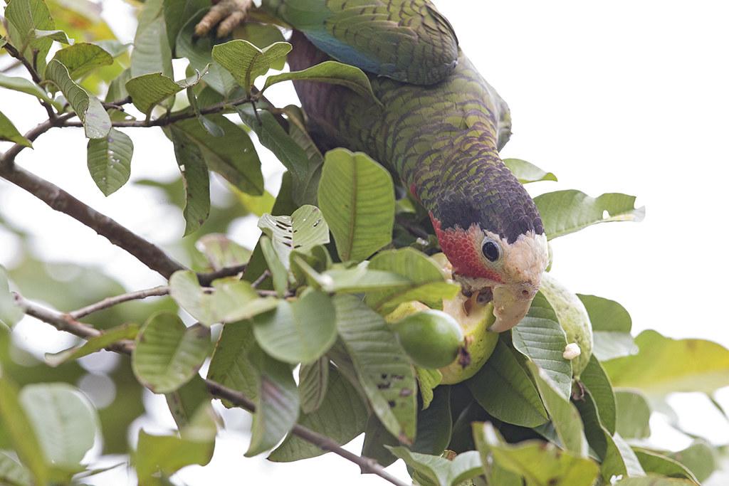 Cuban Parrot 3