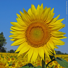 Sunflower at Grinter Farms, 5 Sept 2015 (Squared)