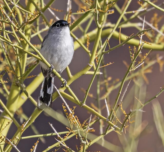Black-tailed Gnatcatcher 16_7D2_210316