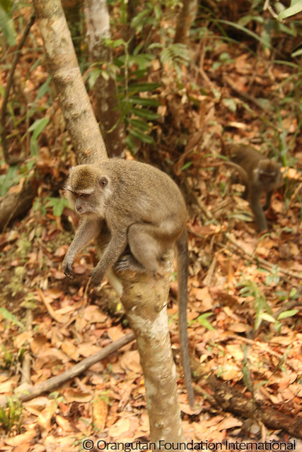 14 - Long-Tailed Macaque (Macaca fascicularis)_wm