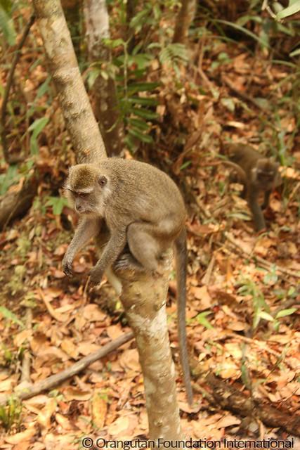 14 - Long-Tailed Macaque (Macaca fascicularis)_wm