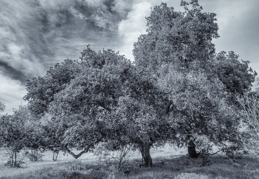 Coast Live Oak Monochrome