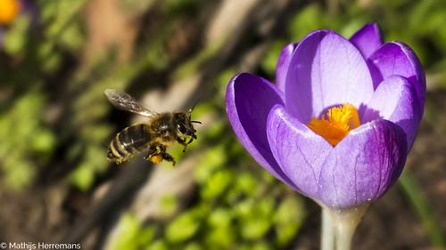 De bijen halen stuifmeel in het vroege voorjaar