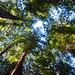 Muir Woods, redwoods by Chris Bertram