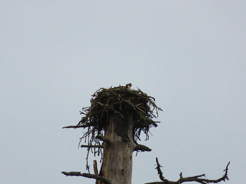 Osprey in its nest