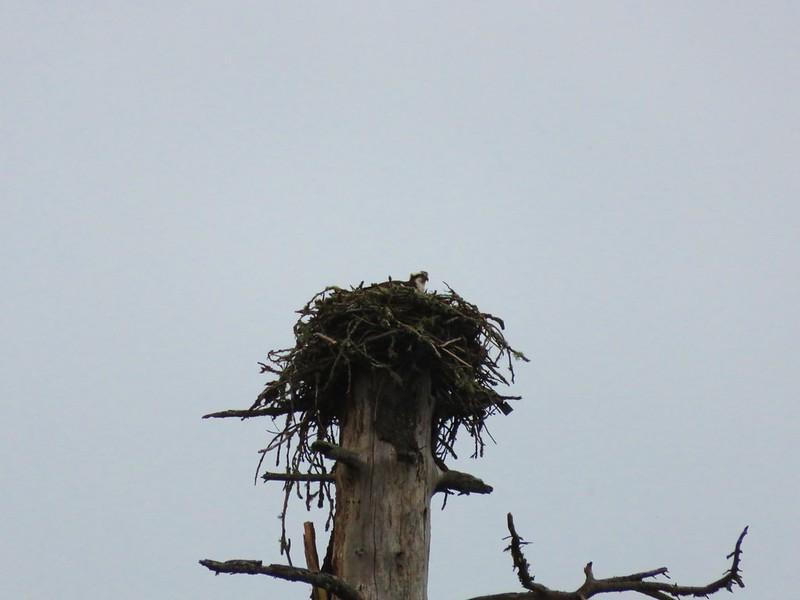 Osprey in its nest