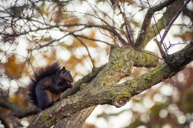 Squirrel - Toronto High Park, ON, Canada