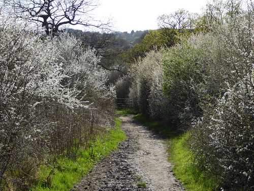Blackthorn blossom in early April