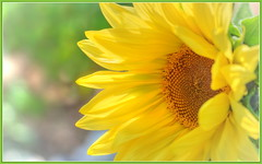 Sunflower Happiness