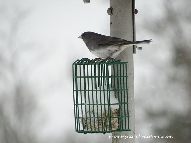 January 2016 Snow birds junco 1