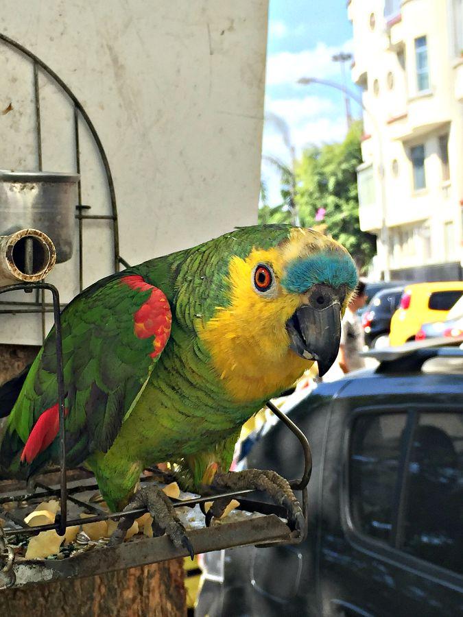 Rio Parrot