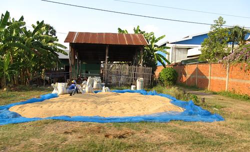 La campagne de Battambang: du riz qui sèche devant les maisons