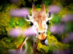 GaiaZOO - Giraffe - Gemaakt door Hans Janssen