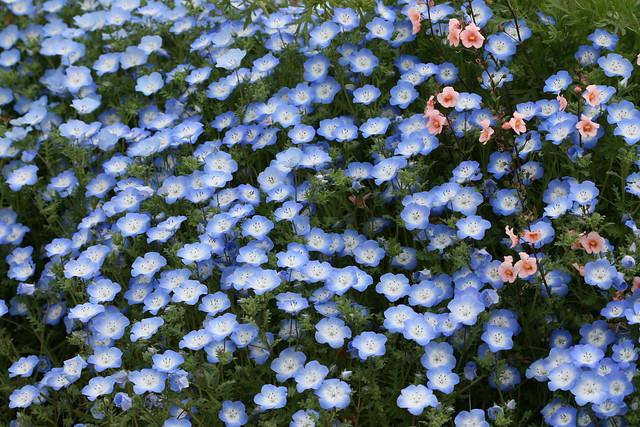Nemophila baby blue