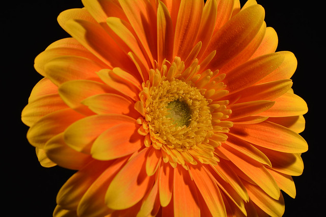 Orange and Yellow Tip Gerbera Daisy