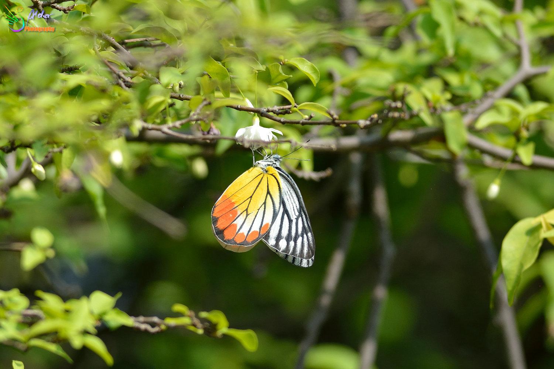 喜群居善飞翔,以细长嘴喙捕食空中飞虫,捕到后会停栖固定枝头享用.