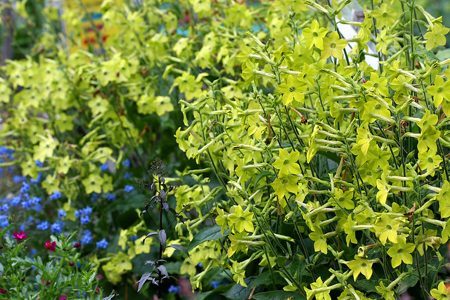 Nicotiana lime green mass