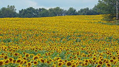 Sunflowers at Grinter Farms, 8 Sept 2015 (3.30pm)