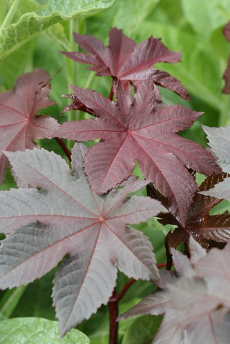 Ricinus New Zealand red
