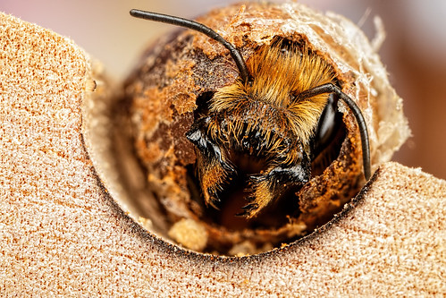 Hatching Female Mason Bee
