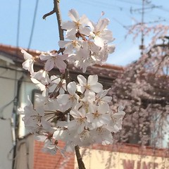 one more up close❤︎  #latergram #nofilter #大阪 #箕面 #桜 #minoo #osaka #cherryblossom