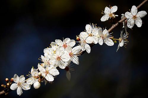 Hawthorn Blossom...