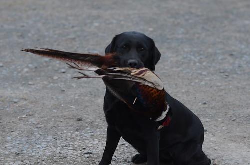 Pheasant Training (9)