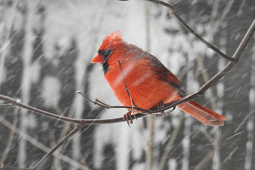 NJ: Cardinal in Snow (in my yard)