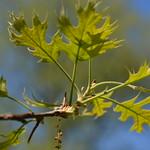 Oak trees: Quercus velutina
