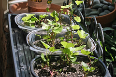 seedlings  IMG_5264 - Copy