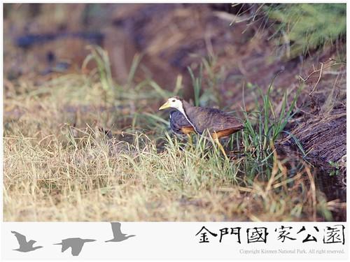 白腹秧雞-02