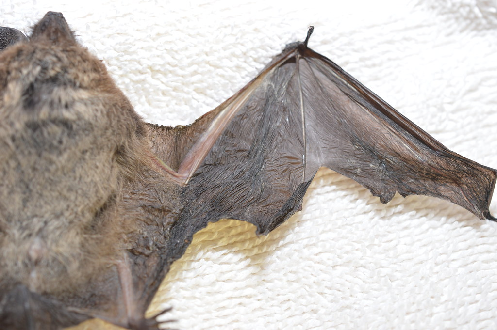 Little brown bat right wing
