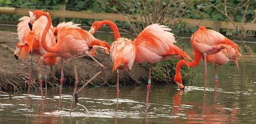 Caribbean Flamingo Panorama
